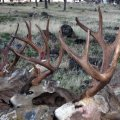 Wyoming Elk, Mule Deer, Whitetail Deer, Antelope Hunts Region Y