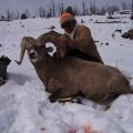 Wyoming Elk, Mule Deer, Antelope, Elk, Sheep, and Moose Hunts