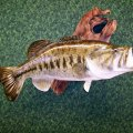 Dan's Fish Taxidermy