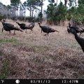 Osceola Turkey Hunts